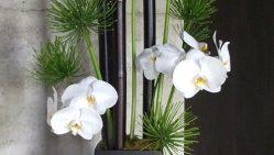 Phalaenopsis Orchid Office Arrangement